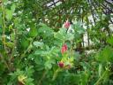hecken-rosen.JPG